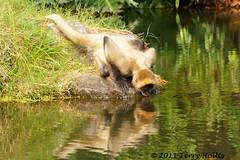 2011 04 17 (192e) Spider Monkey @ Auckland Zoo-A55v-09 (Terry Hollis) Tags: newzealand cute sony auckland top20nature aotearoa spidermonkey aucklandzoo westernsprings blueribbonwinner dslt terryhollis minoltasonyaf75300mmf4556d a55v atelesatelinae