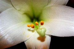 Close-Up Easter Lily. (DariaPhotos) Tags: white flower up easter petals lily close pollen