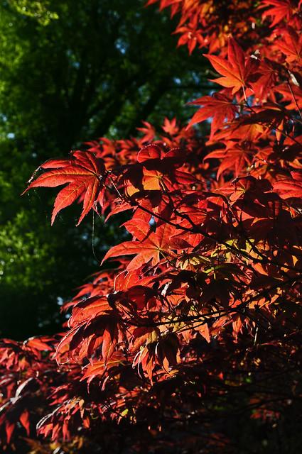 Acer palmatum (2)