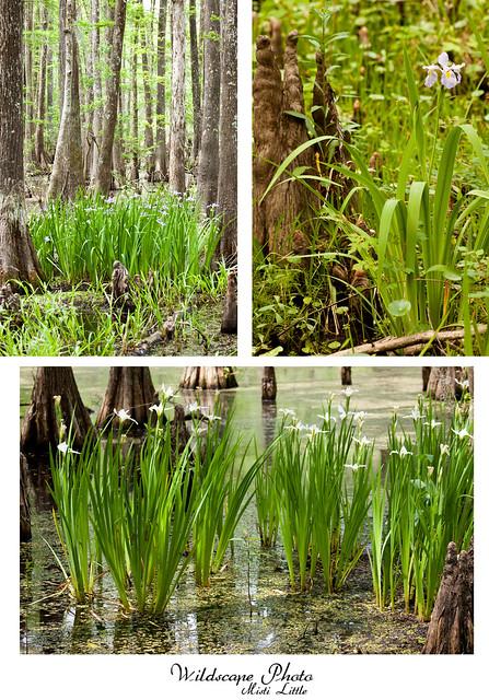 irisswamp
