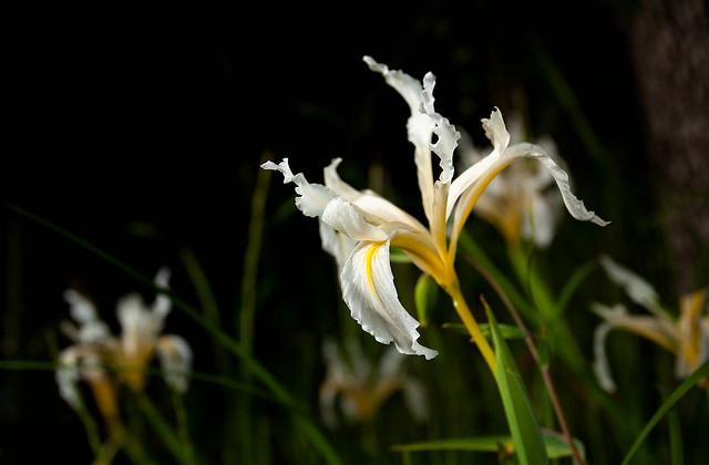 Shasta Iris