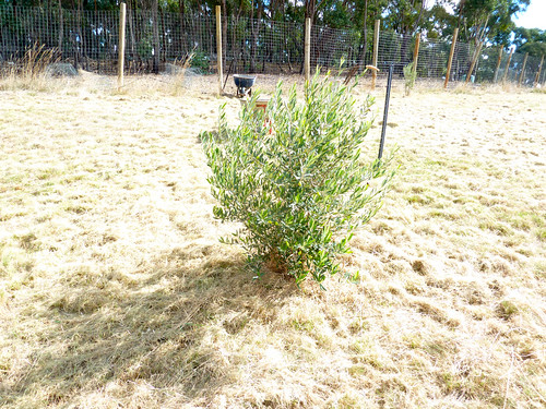 olive grove - 4