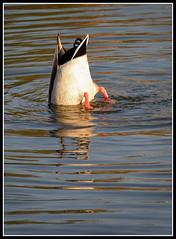 ¿Dónde habré metido las llaves? (sacre) Tags: parque españa duck pond spain coruña olympus galicia pato estanque acoruña lacoruña olympus570uz parquedeeirís