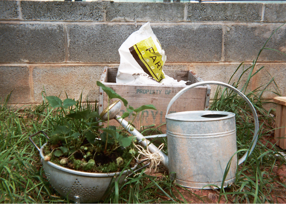 strawberry plant & watering can