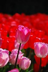 Stand Above (JoelleW) Tags: flowers colorful tulips blooms skagitvalleytulipfestival tulipfestival brilliantcolors skagitcounty tulipfields