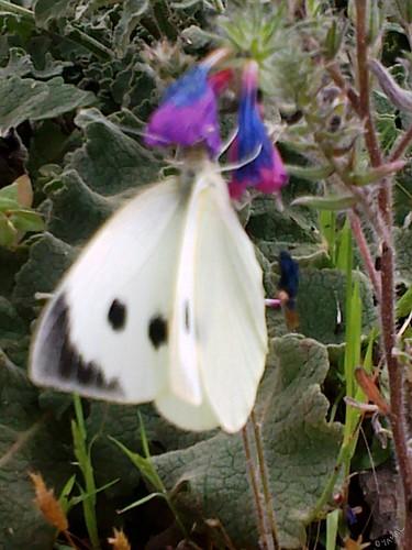 Papillon Triffa فراش تريفة