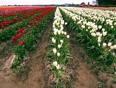 That time of the year (Justin Kraemer Photography) Tags: flowers field barn tulip mtvernon skagitcounty tulipfields skagitcountytulips