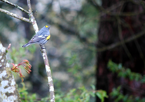 audubon's warbler 1