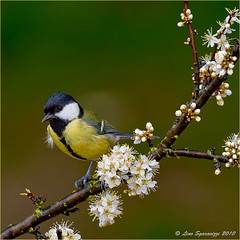 20100322_6550 (Lino Sgaravizzi ) Tags: fauna nikon ngc natura uccelli npc biancospino cinciallegra valtiberina mygearandme mygearandmepremium mygearandmebronze mygearandmesilver mygearandmegold