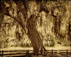 Raintree Country (SLEEC Photos/Suzanne) Tags: tree fence landscape oak southcarolina spanishmoss textured bluffton beaufortcounty