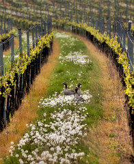 Wild Geese in the wineyard  (Hausstaubmilbe) Tags: green rust natur vineyards burgenland wildgeese neusiedlersee canoneos7d vanagram lovelyflickr canonef70300mmf456lisusm