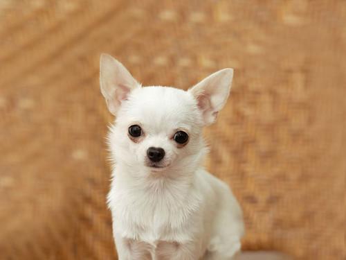 [フリー画像] 動物, 哺乳類, 犬・イヌ, チワワ, 201105011100