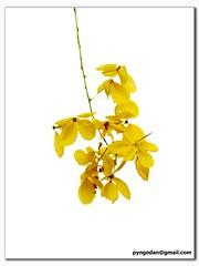 Indian Laburnum (Pyngodan) Tags: india kerala keralam indianlaburnum kanikonna pyngodan pyngode img0781cr2