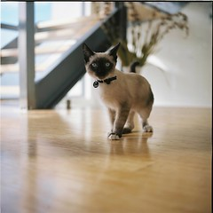 Eric Clapton (Brendan_Timmons) Tags: 120 6x6 tlr film cat kitten catnip ericclapton hyper ragdoll floorboards active yashicamat yashinon 80mmf35 kodakektacolorpro160