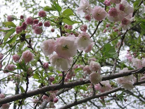 "Flowering Cherry Tree ""Shogetsu"", Spring 2011. by Leenechan"