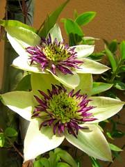 Clematis florida sieboldii (Sergio.Lousame) Tags: plant flower planta fleur garden florida flor clematis jardn xardn sieboldii clematisfloridasieboldii