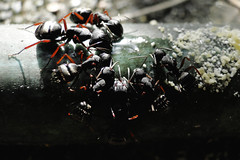 There's Always Room for More (smoketronics) Tags: life plant tree nature bug insect ant ants carpenter