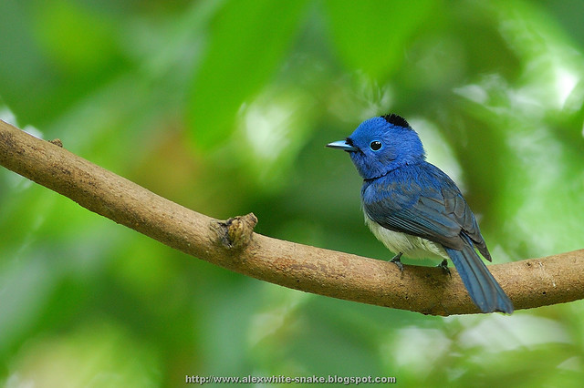 黑枕藍鶲 雄鳥 個人照