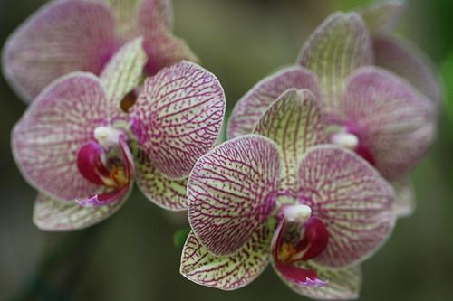 洋ラン / Orchid