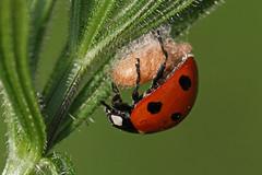 Parasitised ladybird (nutmeg66) Tags: lincolnshire april ladybird 2011 horncastle banovallumhouse parasitised lincsbeetles