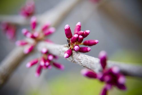 redbud_tree