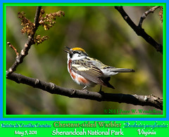 CHESTNUT-SIDED WARBLER MALE SINGING Dendroica pensylvanica in the Shenandoah National Park, Virginia. May 5, 2011. Photo by Peter Wendelken. (Neotropical Pete) Tags: virginia reinita shenandoahnationalpark chestnutsidedwarbler dendroicapensylvanica woodwarbler dendroica parulidae singingbird virginiabirds chestnutsidedwarblermale easterndeciduousforest migratorywarbler photobypeterwendelken peterwendelken singingwarbler virginiawarblers chestnutsidedwarblersinging reinitadecostillascastaas