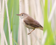 Threading the Needle (Andrew Haynes Wildlife Images) Tags: nature reeds wildlife rutland rutlandwater reedwarbler canon7d ajh2008