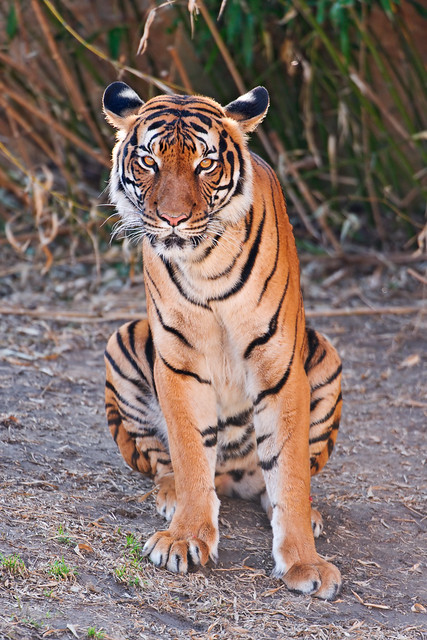 wild plants beautiful female cat zoo big nikon sitting republic czech prague tiger malayan posing soil d700