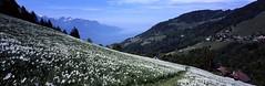 Champ de narcisses (Tonton Dave) Tags: flowers panorama nature fleurs alpes landscape suisse linhof paysage provia montreux technorama narcisses lesavants pâturage nermont