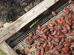 Chocolate Farm Tour 1442 (Just having some fun) Tags: island hawaii big chocolate farm kona kailua