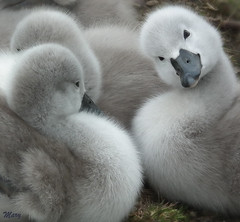 what ya doin ??? ... (  * Mary *   ) Tags: uk cute babies wildlife ngc young adorable fluffy cygnets muteswans specanimal
