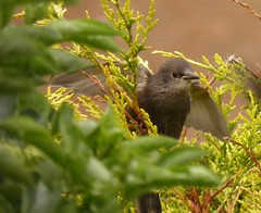 Loopiness In The Leylandii (aaron_eos_photography) Tags: spring starling hedge monday juvenile bankholidaymonday leylandii thewonderfulworldofbirds