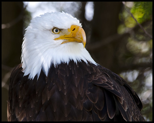Bald Eagle portrait 1 by Jen St. Louis