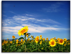 Sunflowers - a bee is hovering over  them (Usc) Tags: friends light sky italy white flower green me nature yellow skyline clouds landscape photo europe italia country natura campagna cielo sunflowers fiori 1001nights paesaggi marche jesi eugenio colorphotoaward staffolo coppari yourcountry paesaggimarchigiani doublyniceshot mygearandme mygearandmepremium mygearandmebronze mygearandmesilver usc artistoftheyearlevel3 artistoftheyearlevel4