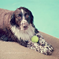 Springer Spaniel by the Pool (Laura L. Ruth) Tags: summer dog pet cute wet pool swim square springerspaniel splash poolside tennisball fetch summersolstice lauraruth