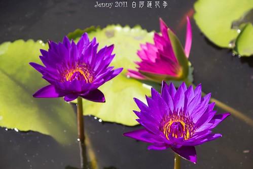 20110620白河蓮花季-5802