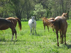Mares3 (eXtensionHorses) Tags: horse field pasture grazing mares extensionhorses