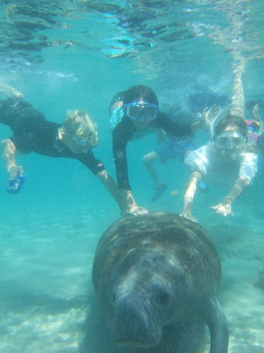 Friendly manatee underwater