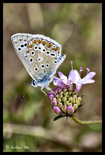 mariposa by Antoni illa
