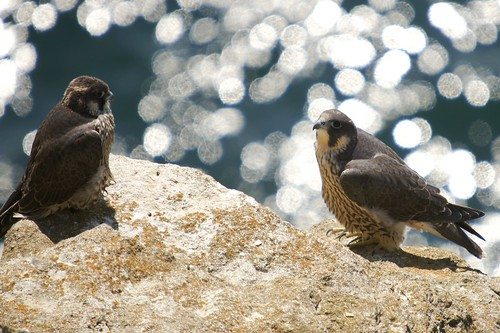 The Peregrine Family by julian sawyer