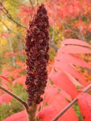 Staghorn Sumac (finlander13) Tags: minnesota ironrange buhl staghornsumac sumac autumn fall fallcolors
