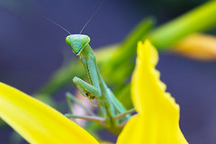 mantis (EdgarJi) Tags: insect bug nature beauty flower yellow mantis green