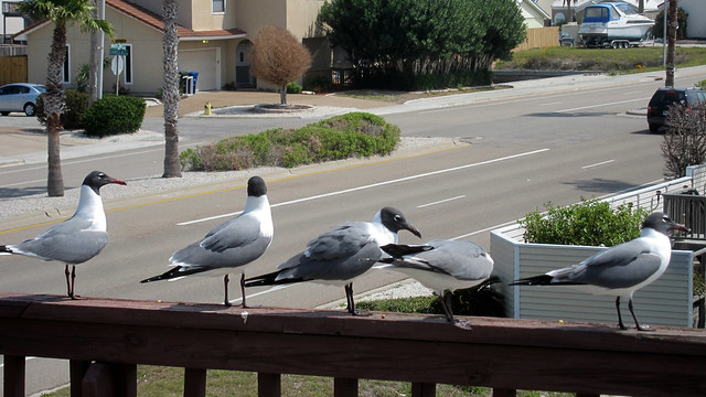IMG_2624: Gulls on the Deck