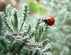 ladybird #1 (___steph___) Tags: ladybird coccinelle santolina cottonlavender flickrduel