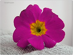 Primula (Robin.Benea) Tags: pink flower macro nature beautiful interesting flickr sony awesome estrellas h50 flickraward