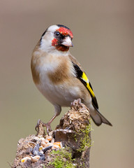 Poser  2 (Andrew Haynes Wildlife Images) Tags: bird nature canon wildlife goldfinch 7d warwickshire whitacreheath ajh2008