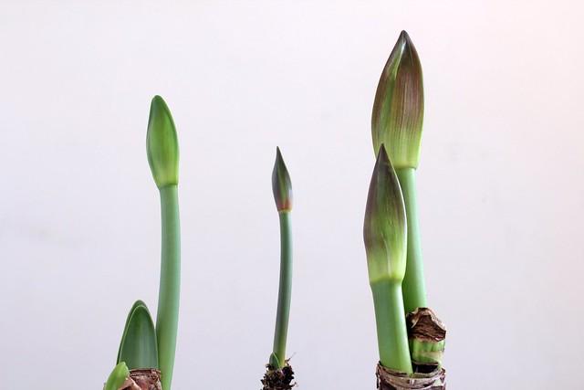 Hippeastrum flower stems