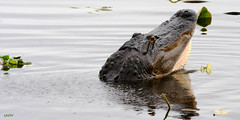 Morning Dance (gatordr) Tags: florida gator alligator behavior waterdance floridagator floridaalligator