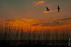 IMG_0617a (Eve Lane) Tags: sky beach sc birds clouds sunrise charleston follybeach seagrass