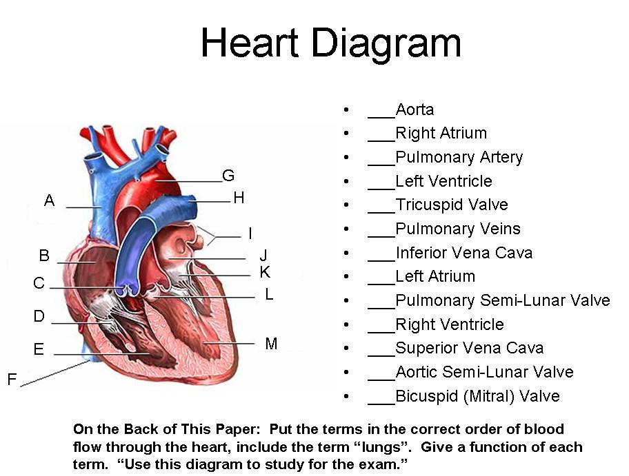 Unit 7 Part 1 Blood and Heart -- Heart Diagram